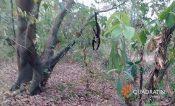 Por sequía, mueren monos aulladores en Veracruz